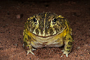 African bullfrog (Pyxicephalus edulis)<br /> Marataba, A section of the Marakele National Park, Waterberg Biosphere Reserve<br /> Limpopo Province<br /> SOUTH AFRICA<br /> HABITAT &amp; RANGE: Seasonal shallow grassy pans and marshy areas in open savanna.