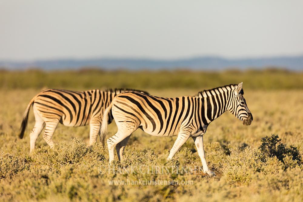 Two plains zebras walk through short scrub, Etosha National Park, Namibia.