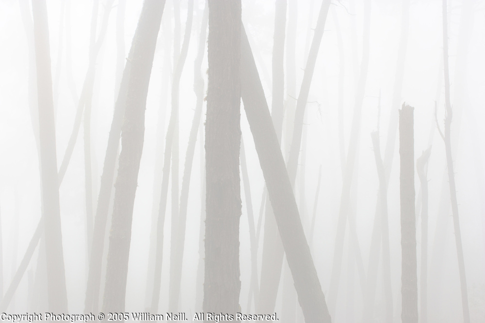 Pines in fog, Monterey, California