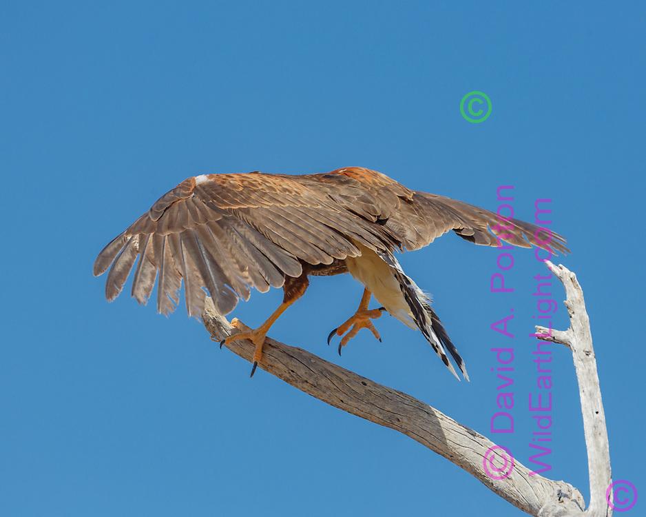 Juvenile Harris's hawk walks up a branch. © 2012 David A. Ponton