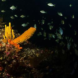 Tube Sponge, Poor Knights Islands, Unknown
