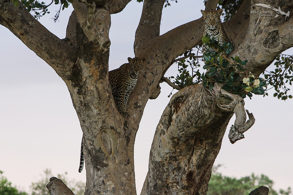 Two leopards (Panthera pardus) in a tree! Serengeti, Tanzania.