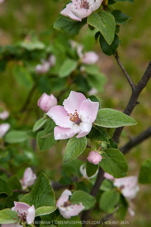 Pale pink apple flower  ready to be pollinated in early spring.