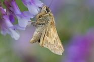 Atalopedes c. campestris - Sachem