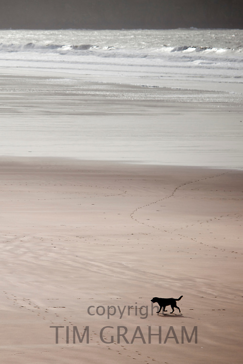 Labrador Retriever dog on the beach at Woolacombe, North Devon, UK