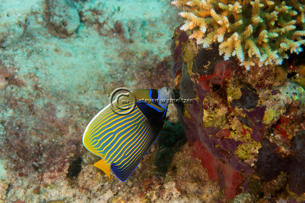 Emperor Angelfish, Pomacanthus imperator, (Bloch, 1787), Maldives