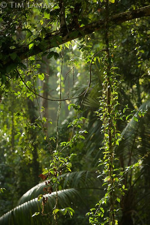 Rain forest view.  Halmahera Island, Indonesia.