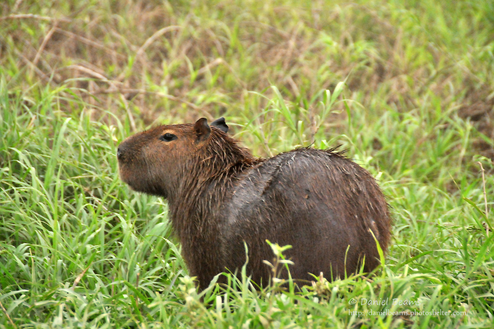Capybara on river bank near San Lorenzo de Moxos, Beni, Bolivia