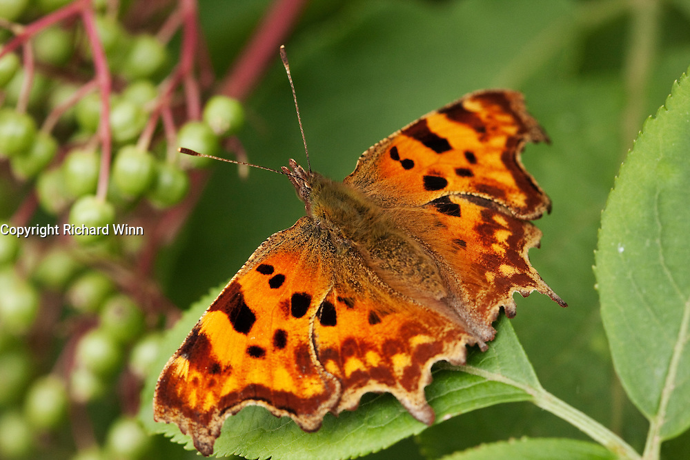 Macro dorsal view of a comma butterfly on a leaf next to the Taunton and Bridwgater Canal near Bridgwater.