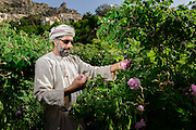 Abdul Kareem bin Saif AlSuqri hand picks roses in the terrace farms near the village of Sharaijah