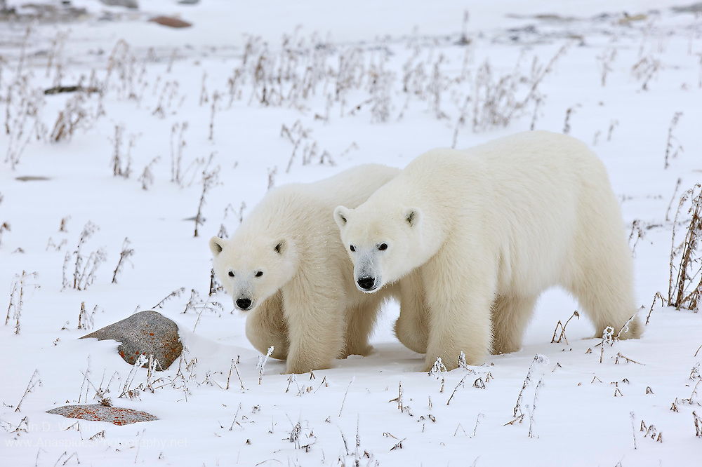 A mother polar bear and her cub walk closely past the photographer in the high Arctic in Canada.  It's interesting to note that the cub is almost the size of the mother