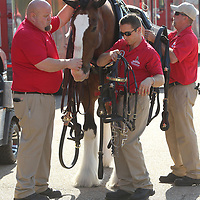 The World Renowned Budweiser Clydesdales Crew saddle prepare Sparky as they fit him with his harness and ready for deliveries.