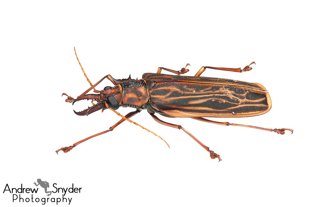 Long-horned Beetle (Macrodontia cervicornis - Berbice, Guyana.