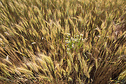Close-up image of wheat and daisies in the Palouse, Washington, Pacific Northwest