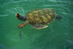 Stock photo of sea turtle swimming in the bay