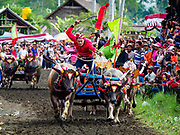 30 JULY 2017 - TUWED, JEMBRANA, BALI, INDONESIA: Teams of racing water buffalo at the finish line of a makepung (buffalo race) in Tuwed, Jembrana in southwest Bali. Makepung is buffalo racing in the district of Jembrana, on the west end of Bali. The Makepung season starts in July and ends in November. A man sitting in a small cart drives a pair of buffalo bulls around a track cut through rice fields in the district. It's a popular local past time that draws spectators from across western Bali.    PHOTO BY JACK KURTZ
