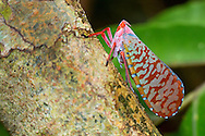 Alberto Carrera, Bug, Hemiptera, Sekonyer River, Tanjung Puting National Park, Kalimantan, Borneo, Indonesia