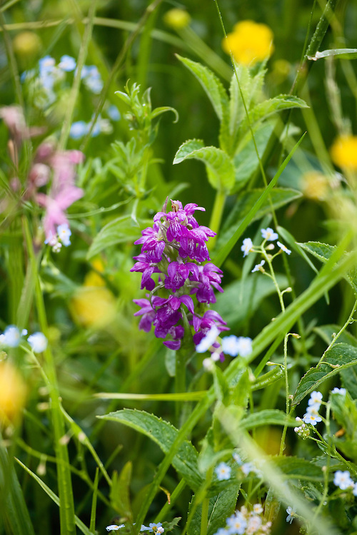 Flowering meadow with Wild Orchid, Dactylorhiza spec., Poloniny National park, Western Carpathians, Eastern Slovakia, Europe
