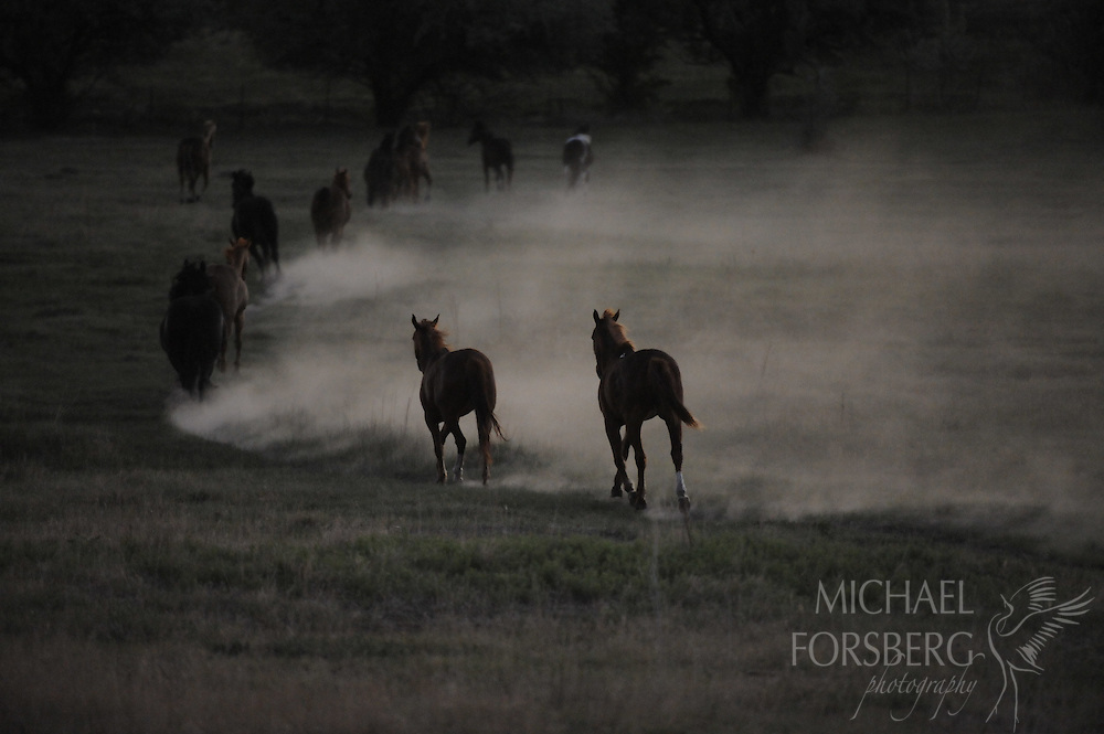 High Plains, shortgrass prairie region - Front Range, CO..Horses during early morning round up in cloud of dust on way to corral..