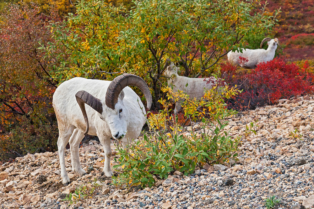 Alaska.  Three Dall Sheep rams (Ovis dalli) browsing on willows (Salix sp.) in Polychrome Pass, Denali National Park, in August.  In the background Dwarf Birch (Betula nana) and Bog Blueberry (Vaccinium uliginosum) display fall colors of red and orange while some of the willow leaves are bright yellow.