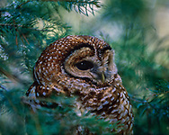 Mexican spotted owl adult in a day roost in a white fir tree, portrait, © 1992 David A. Ponton, [Note: This is a carefully finished image of higher quality than the copy spread around the world by photo stock agencies who don't share the royalties with me, the photographer. Buy the best RF from me at a good price, or have a quality print or other product made for you! Thanks!)
