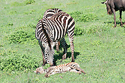 Africa, Tanzania, Ngorongoro Ngorongoro Conservation Area (NCA) Female Zebra and young calf