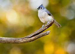 A Tufted Titmouse Perched On Top Of A Branch Basking In Autumn Bokeh