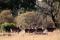 waterbuck Kobus ellipsiprymnus family grazing in the beautiful reserve of masai mara in kenya africa