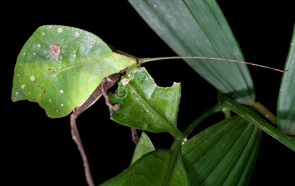Leaf Katydid, possibly Cycloptera sp., from La Selva, Ecuador.