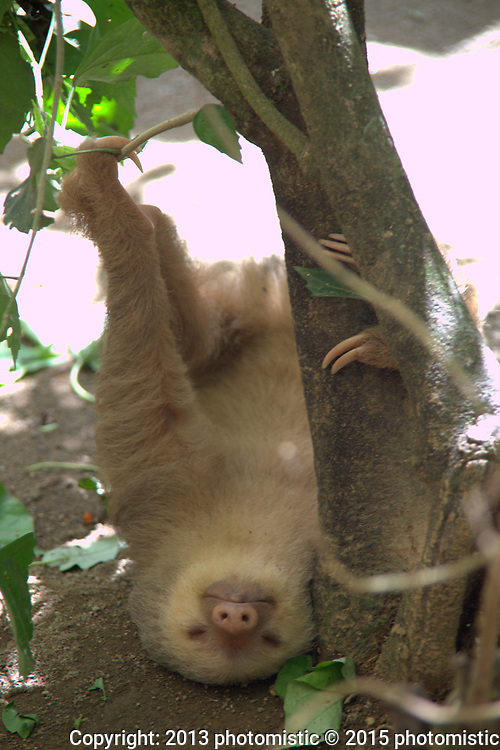 sloth @ Jaguar Rescue Center