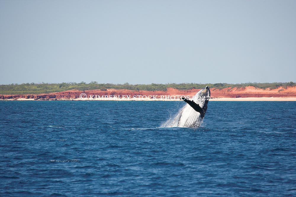 A Humpback whale (Megaptera novaeangliae) breaches off Lombadina on the Kimberley coast.