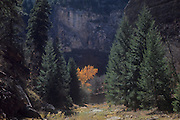 Canyon del Morto in Canyon de Chelly National Monument, Arizona, USA. Coniferous forest.<br /> Probably Douglas fir.  The fall color might be a Gambel oak.