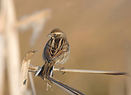 Reed Bunting - Emberiza schoeniclus - winter female. L 14-15cm. Well-marked bird of wetland margins. Forms flocks outside breeding season. Sexes are dissimilar. Adult summer male has black head, throat and bib, and white collar and submoustachial stripe. Underparts are whitish with faint streaking, back is dark and wings have reddish brown feather margins. In all other plumages head has dark brown and buffish brown stripes and pale submoustachial stripe. Back has brown and buff stripes, wing feathers have reddish brown margin and pale underparts are streaked on flanks and breast. Males show hint of summer head pattern. Voice Utters a thin seeu call. Song is simple, chinking and repetitive. Status Locally common. In winter, flocks found on arable fields.
