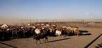 Brunette Downs Cattle Station is situated on the Barkley tablelands in Australia's Northern Territory. One of Australia's largest cattle stations. Cattle in the drafting yard..