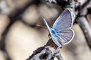 Hemiargus ceraunus gyas - Ceranus Blue
