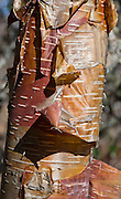 Papery red, orange and tan bark peels from tree trunks in a forest in Sagarmatha National Park, in the Khumbu District of Nepal. Sagarmatha National Park was created in 1976 and honored as a UNESCO World Heritage Site in 1979.
