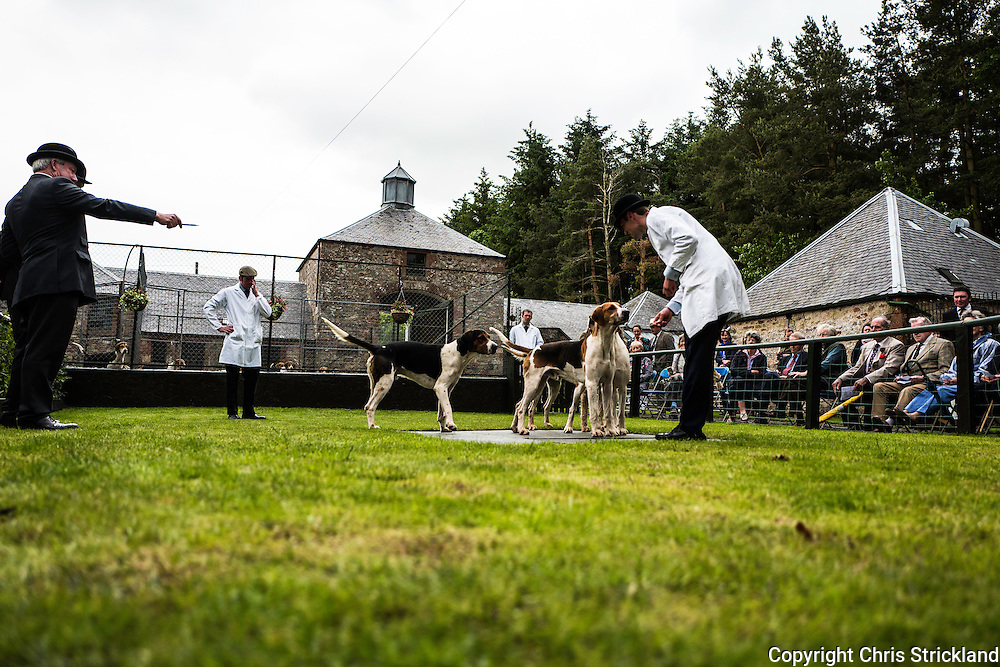 Bonchester Bridge, Hawick, Scottish Borders, UK. 3rd July 2016. Young foxhounds of the Jedforest Hunt are presented to supporters by hunstman Johnny Richardson and judged by Trevor Adams and Rory Innes at the annual puppy show at the hunt kennels.