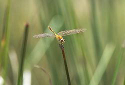 A yellow dragonfly rests on a slender twig at Gantheume Point, Broome, Western Australia.