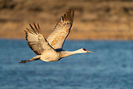 Sandhill Crane (Grus canadensis) flying at sunrise at Bosque del Apache in New Mexico. Winter. Morning.