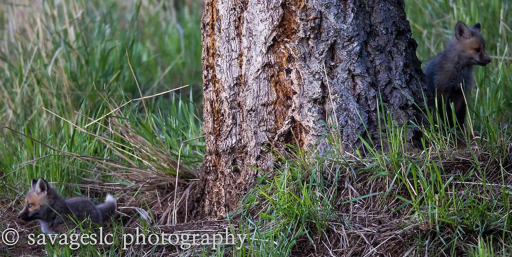 Fox kits at the den. Yellowstone National Park May 2013