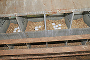 Eggs collected on a free range chicken farm