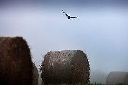 Crow flies over hay bales in a mist covered field, King's Norton, Leicestershire, England, UK.
