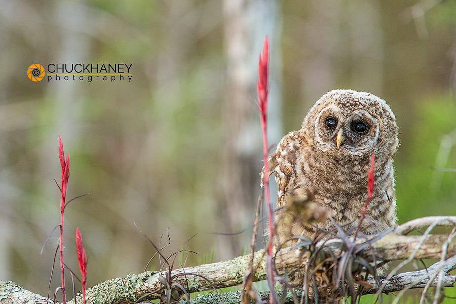 Flegling barred owl in Everglades National Park, Florida, USA