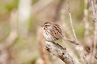An adult Song Sparrow sits fluffed up after feeding on the ground on a March morning.