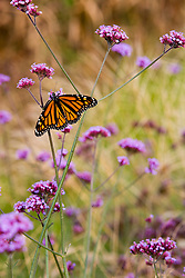 A monarch butterfly in the cutting garden at Moulton Farm in Meredith, New Hampshire.