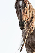 Puer Aterernus, tracie spence photographed wild mustangs at Return to Freedom and spent all day tracking this fierce wild horse with deadlocks and brown hair blowing in the wind at sunset, the horse's eyes tells a story of the mustangs journey, challenges, and spirit