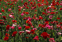 poppies, France