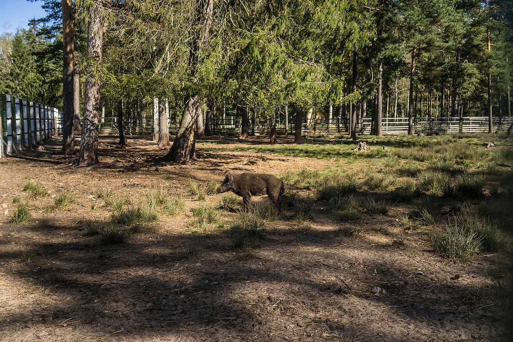 A wild hog in an enclosure on Sunday, September 18, 2016 in Belozhevskaya Pushcha National Park near Kamieniuki, Belarus.