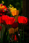Blooming back lit red and yellow tulip flowers close up