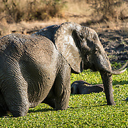 Elephants in a small reed-covered lake at Tarangire National Park in northern Tanzania not far from Ngorongoro Crater and the Serengeti.